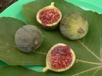 Figs harvested at 25-nov-2006, in my terrace.