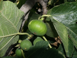 Figs in the tree (Maella 14-August-2007)