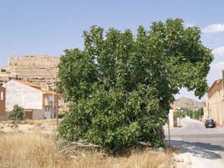 Fig tree at the entry of the village of Maella, rests of the castle in background.