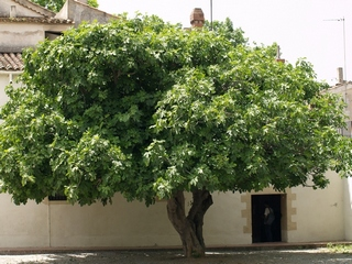 Fig tree  Burjassot placed in the Catalan region of the Oriental Vallès