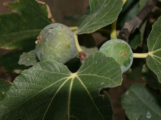 Verdal figs in the tree branches.