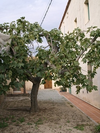 Maresme (Catalonia) Fig Tree